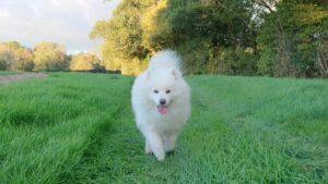 Samoyed in field